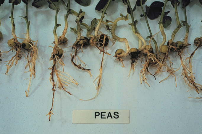 Post Root Diseases of Wheat and Barley: What do they look