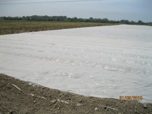 Broadcast application of soil solarization; the soil is mulched with transparent polyethylene.