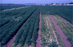 Control of bromerape (Orobanche) in a carrot field.  The small plot on the right side was not solarized.